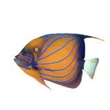 съемка предпосылки angelfish голубая bluering подводная Стоковое Изображение