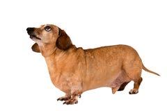 Съемка собаки полнометражная смотря вверх изолированный на белизне Стоковое фото RF