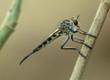 Съемка стороны детали макроса мухы убийцы мухы разбойника AKA стоковое изображение rf
