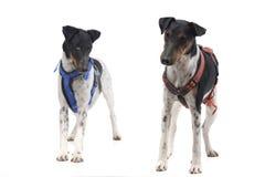 Съемка студии прелестного терьера Fox и смешанной собаки породы Стоковые Фото