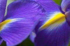 Съемка студии покрашенных синью цветков радужки Стоковое Изображение RF