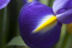 Съемка студии покрашенных синью цветков радужки Стоковая Фотография