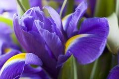 Съемка студии покрашенных синью цветков радужки Стоковые Изображения RF