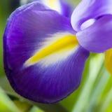 Съемка студии покрашенных синью цветков радужки Стоковые Фотографии RF