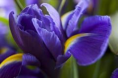 Съемка студии покрашенных синью цветков радужки Стоковое фото RF