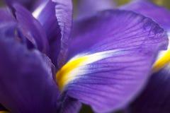 Съемка студии покрашенных синью цветков радужки Стоковое Фото