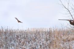 съемка фазана летания Стоковые Изображения