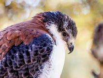 Съемка хищной птицы внешняя Находят хищные птицы в много отсчет Стоковая Фотография