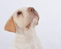 съемка щенка головная Стоковое Изображение RF
