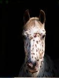 Съемка Appaloosa головная Стоковое Изображение RF