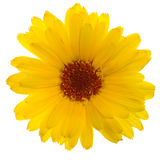 съемка calendula Стоковые Фотографии RF