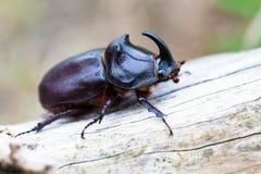 съемка rhinoceros макроса жука европейская Стоковые Фото