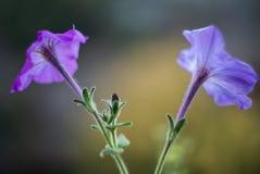 Съемки стиля фиолетовых цветков ретро с отмелым Dept поля стоковое фото
