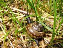 Съестная улитка в траве стоковые фото