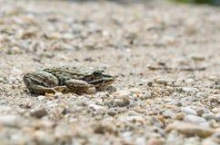 Съестная лягушка на взгляде со стороны камешков Стоковое фото RF