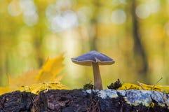 Съестное cervinus Pluteus гриба обыкновенно как mushr оленей Стоковое Изображение RF