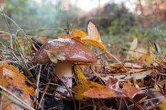 Съестное luteus масленка гриба растя в лесе needl сосны Стоковая Фотография