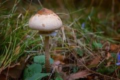 Съестное procera Macrolepiota гриба известное как гриб парасоля в лесе осени Стоковая Фотография