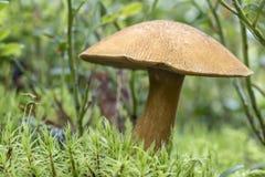 Съестное subtomentosus xerocomus гриба в макросе мха Стоковая Фотография