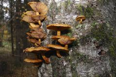 Съестной грибок меда растет на березе Стоковые Фото