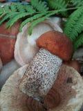 Съестной гриб леса Стоковое Фото