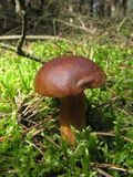 съестной гриб мха стоковое изображение rf