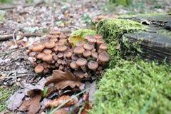 Съестной гриб ostoyae Armillaria грибка меда Стоковые Изображения RF