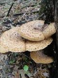 Съестной одичалый гриб Стоковое Изображение RF