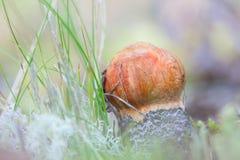 Съестной подосиновик гриба в крупном плане травы Лекцинум Стоковое Изображение