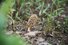 Съестной сморчок гриба в природе Стоковые Изображения RF