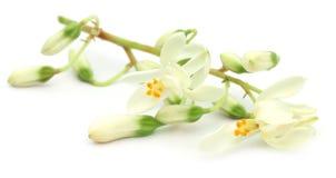 Съестной цветок moringa стоковые изображения