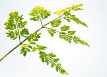 Съестной цветок moringa стоковое изображение