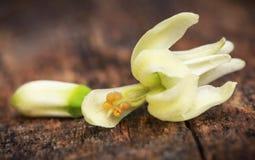 Съестной цветок moringa стоковое фото rf