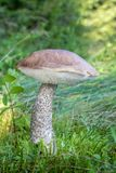 Съестной bolete березы гриба в траве с запачканной предпосылкой Стоковые Фото