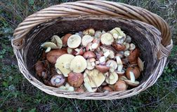 Съестные грибы собранные в плетеной корзине стоковые изображения rf