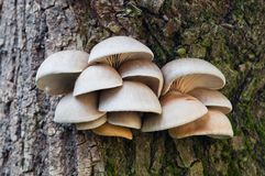 Съестные грибы ostreatus Pleurotus гриба устрицы растут стоковые изображения