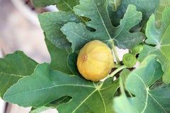Съестные желтые смоквы приносить на ветви смоковницы Стоковое Изображение RF