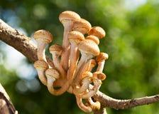 Съестные пластинчатые грибы меда грибов на ветви дерева Стоковое Изображение
