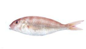 Съестные рыбы моря изолированные на белизне Стоковая Фотография RF