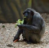 Съешьте обезьяну стоковое фото rf