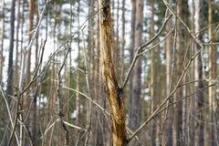 Съешьте расшиву лося деревьев в лесе в зиме Стоковое фото RF