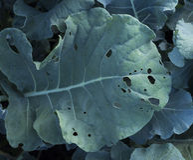 Съеденные лист брокколи Стоковые Изображения RF