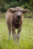 Сын буйвола Брайна Стоковая Фотография RF