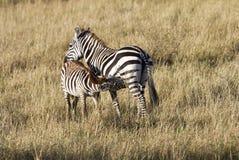 Сын матери зебры подавая Стоковые Фото