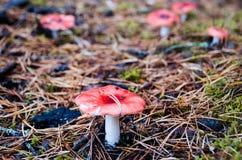 Сыроежка гриба растя на игл-encrusted мхе Стоковое Изображение RF