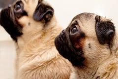 Сырость 2 после мопса породы собаки ливня Стоковое Изображение