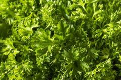 Сырцовая зеленая органическая курчавая петрушка Стоковое фото RF