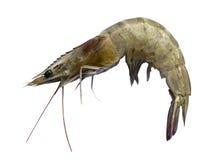 Сырцовая изолированная креветка Стоковая Фотография RF
