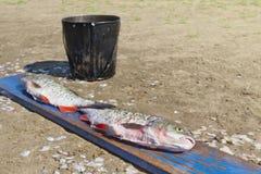 Сырцовая и обработанная пресноводная рыба Стоковое фото RF