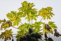 Сырцовая папапайя приносить на дереве Стоковые Фотографии RF